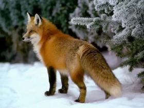 狐狸和狗的故事